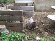 "The Cedar Pen compost bin just ain't big enough for the eager chickens. ""More!"" says Frodo."