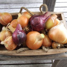 The onion harvest. The best ones somehow made it into the foreground.