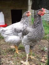 The little Leggy cockerels, sons of the late Legolas and Mr Bingley. They were pretty but couldn't stay.