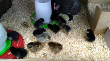 Frodo hatched more babies - 14! They were a cute mass of fluffiness.