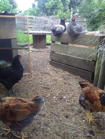 The five crossbred boys were separated from the main flock in preparation for being either sold or butchered.