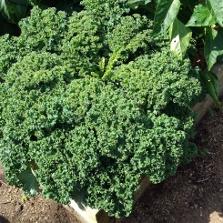 This curly kale looks very pretty.