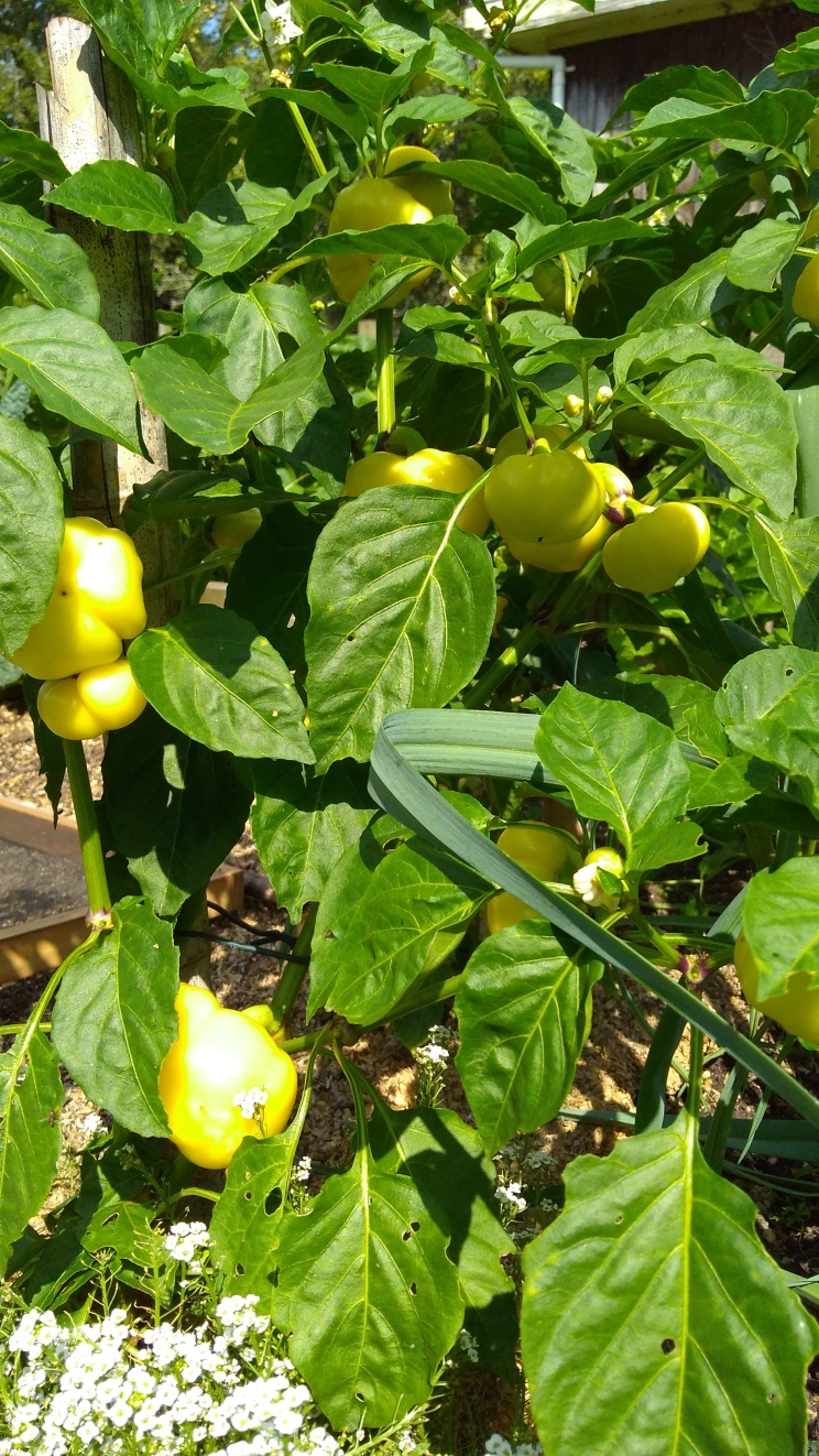The 'Alma Paprika' capsicums are getting there.
