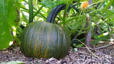 A Small Sugar pumpkin