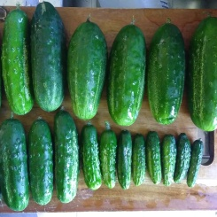 Gherkins. Do you think somebody might have forgotten to pick some of them sooner? And what's up with the size ordering. I don't know how that happens...