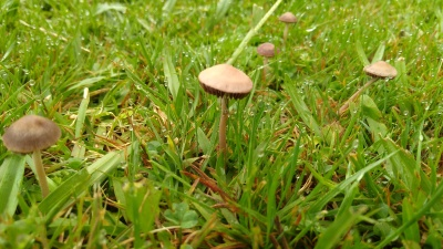Tiny, cute mushrooms in the lawn.