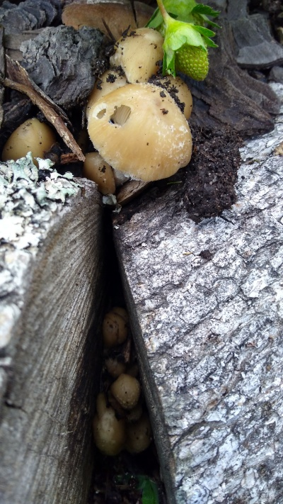 Fungi growing around the log edging of the strawberry patch. Something's been eating them. Wonder if it's still alive?