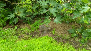 The stump under the fig tree.