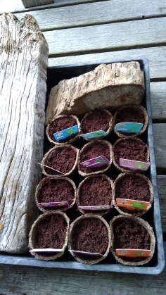 The little peat pots were put on the deck while we watched, waited and watered.