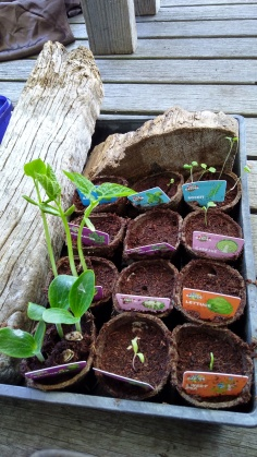The Little Fulla curiously watched as all the different seedlings came up and grew.
