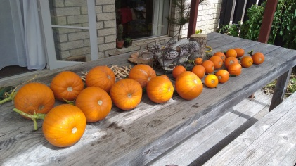 The outdoor table is turning a shade of orange. The bigger pumpkins are small Sugar and the little ones are Wee Bee Little.