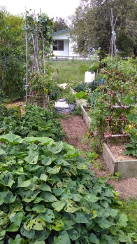 The Vege Garden is rather a mess right now as crops putter out. I need to get some Autumn clean-up done.