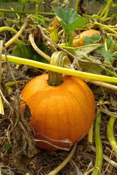 A Small Sugar pumpkin.