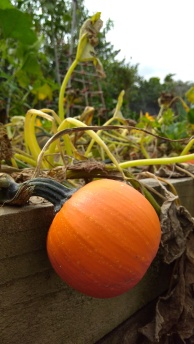 A Wee Bee Little pumpkin, one of the last.