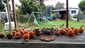 The pumpkins have been curing on the outdoor table.