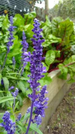 The purple salvias are one of the few pretty things in the neglected Vege Garden.