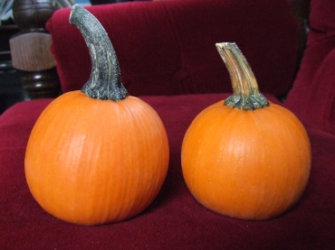 My selections for Best Mature Miniature Pumpkin. The chosen, 2nd place one is the one on the right. I took a backup pumpkin for each category, because you never know what might happen on the road.
