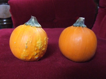 My selections for Lightest Mature Miniature Pumpkin, the chosen one being on the left.