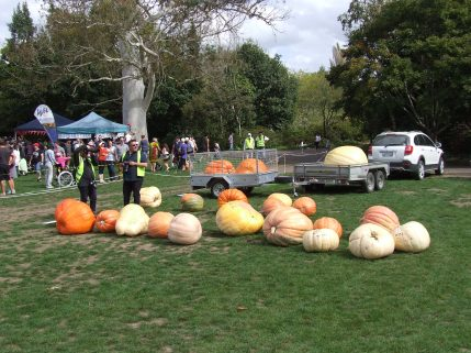 A swathe of giant pumpkins.