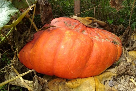 The biggest giant pumpkin I grew this year. 'Grew' being the key word. It was a pretty decent size before it collapsed. So long, dear pumpkin.