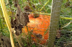 The secret pumpkin child that the same plant grew, just on the wrong side of the fence. Oops!
