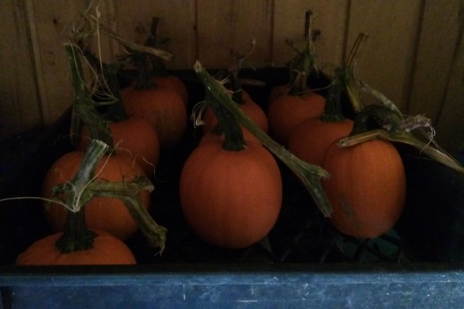 There are little pumpkins lurking in shady places. Will any of them bring me a prize?