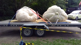 This is how you transport GIANT PUMPKINS.