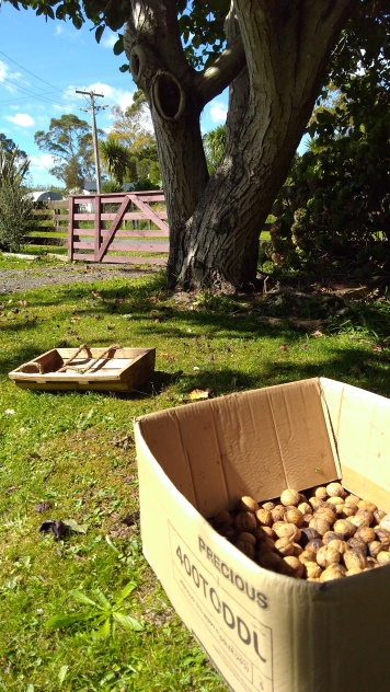 Harvesting the walnuts isn't just about picking them all up, it involves trying to sort the good from the bad.