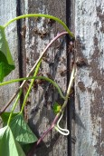 The kumara vines were growing into the joins of the potting shed. Oh dear! They must not be left to their own devices. The paper wasps seemed to have taken up a winter residence behind the vines too.