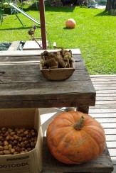Harvested things: kumara and walnuts, plus giant pumpkins lolloping about.