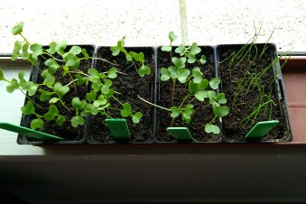 The brassica and leek seedlings were at an awkward size come holiday time.