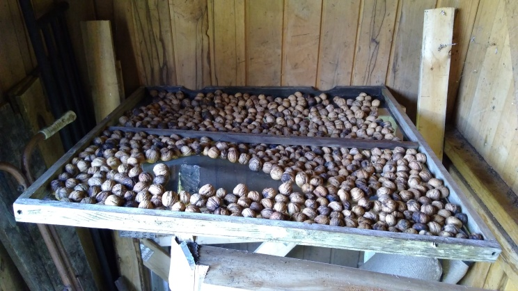 I put the walnuts on a couple of the old window fly screens in the potting shed to dry out. If they work well I will figure out a more permanent place for them to sit, instead of balanced on top of random things.