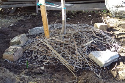 I chucked some mulch under the peach tree then covered the base with a chicken wire mound. I am seeing if this works well compared to wrapping a wire cylinder around the tree, as it will be easier to keep the crazy weeds down this way. And it uses less chicken wire.