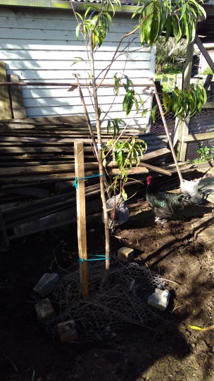 The peach tree gets staked and watered. The chickens are, of course, very interested.