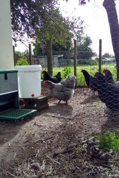 The chickens cottoned on straight away after I poked at the nipples to show them that water was coming out. Juliette was first to have a try. They seem to really like it. I guess it's because they like pecking things.