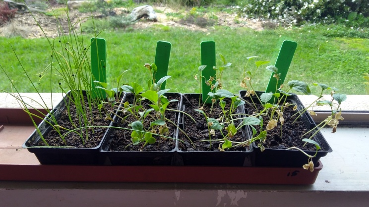 The brassica and leek seedlings somehow survived being home alone.