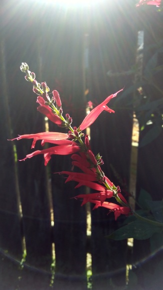The pineapple sage flowers add a beautiful, much welcome touch of red at this time of year.