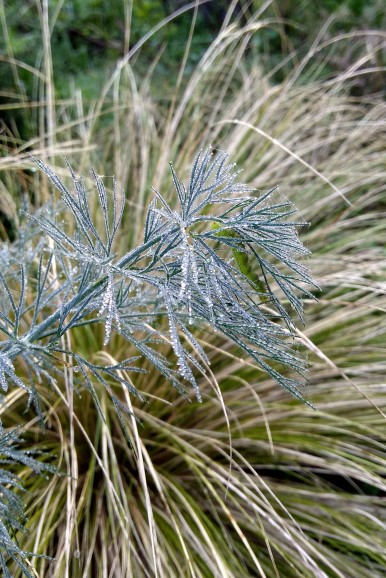 A dill leaf bears some dew. And something else very undesirable.