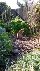The Fur Child has a peering session in the Herb Garden.
