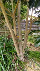 The loquat tree about to get some pruning attention. It has five trunks and a lot of bushy growth shading out other plants.
