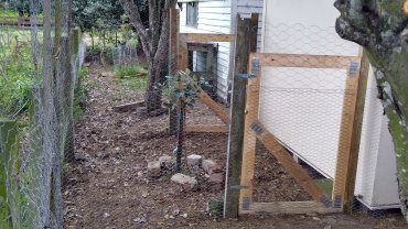 Looking from The Corner by the apple tree at the Feijoa Pen. There was such a nice little space behind the coop I thought I might as well whip up another fence and gate, and there you have it.