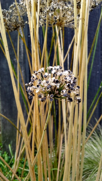 I should cut off these garlic chives seedheads before they spread everywhere, but they're just so pretty.