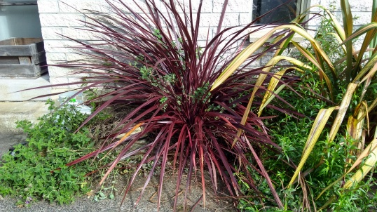 "The Cordyline 'Red Fountain is one of my favourite plants, due to its fantastic burgundy colour. This photo was taken after I had cut some pieces off its short trunk. The Penstemon ""Firebird' is the lolloping green thing on it's right, although that's only half of it. The other half was lolloping on the other side of the yellowish flax, which has now gone."