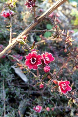 Prostrate manuka - Leptospermum 'Red Falls'.