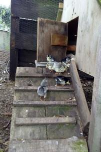 The chicks got a taste of fresh air.
