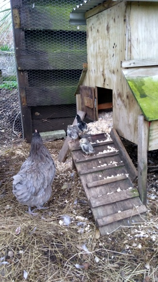 The chicks got the hang of the ramp pretty well by themselves this time.