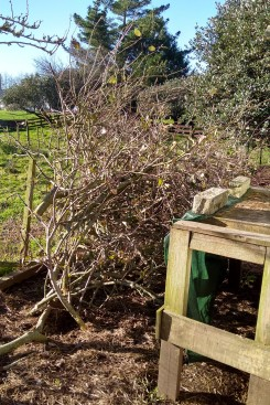 The first apple pruning pile...
