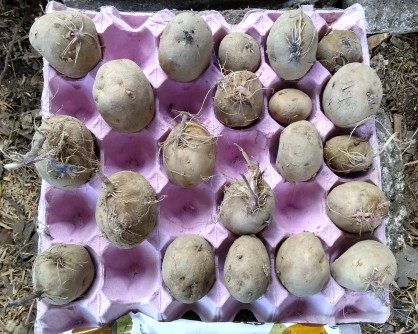 Chitting the Summer Delight seed potatoes.