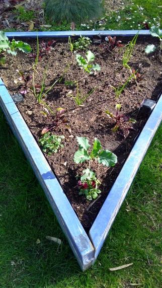 The Little Fulla's vege garden.