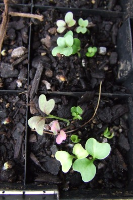 Pretty little oriental mesclun mix seedlings.